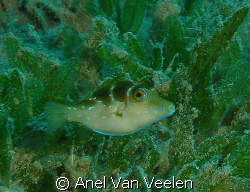 Tiny toby taken at Marsa Bareika, Ras Mohamed with SP350. by Anel Van Veelen 